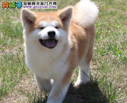 纯种秋田犬幼犬 公母均有颜色齐全 签协议可送货2