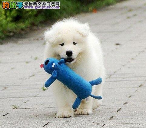 南京知名犬舍低价出售疫苗驱虫齐全的萨摩耶 非诚勿扰