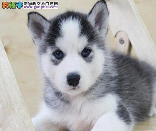 郑州养殖场直销哈士奇雪橇犬 包健康签订保障签订协议