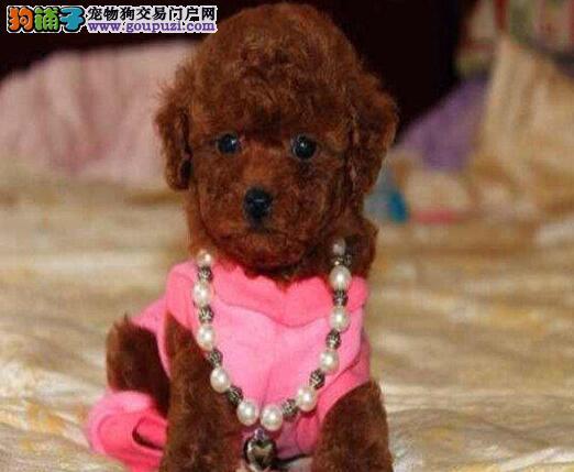 热销韩国血统的泰迪犬 建议来合肥上门购买可签协议1