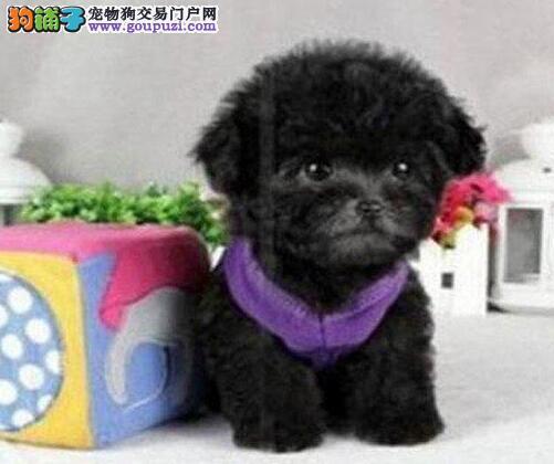 热销韩国血统的泰迪犬 建议来合肥上门购买可签协议3