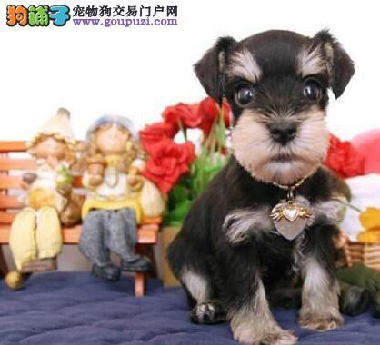 北京自家繁殖的纯种雪纳瑞找主人签订合法售后协议