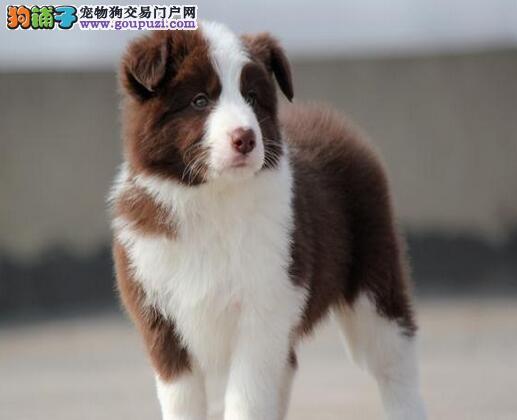 出售七百到位的边境牧羊犬DDMM