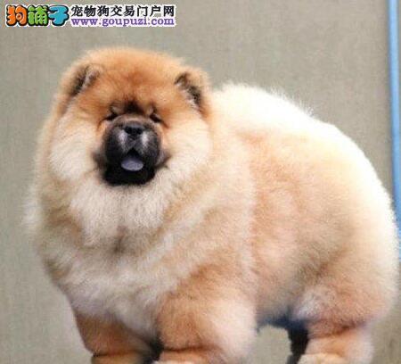 魅力释放 如何给松狮犬修饰毛发