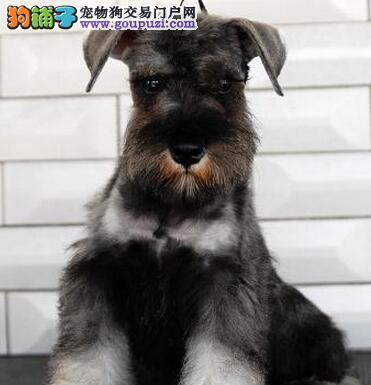 北京迷你雪纳瑞幼犬出售 纯正血统 椒盐黑银都有