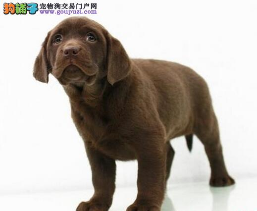 转让纯种血统的汕头拉布拉多犬 颜色齐全签协议2
