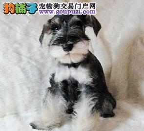 南京雪纳瑞幼犬低价转让 期待您的来电 欲购从速