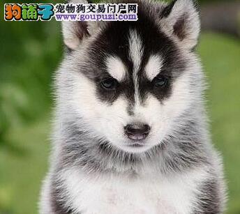 广州犬舍出售高品质哈士奇三把火蓝眼睛