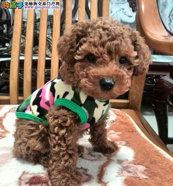 张家界自家繁殖的纯种贵宾犬找主人可刷卡可视频