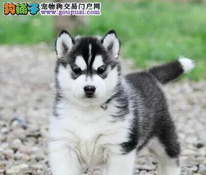 标准蓝眼哈士奇幼犬 西伯利亚雪橇犬小哈二哈出售