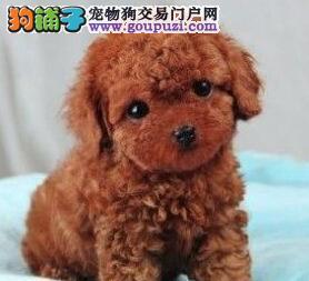 特价出售精品韩国血统贵宾犬 欢迎来哈尔滨狗场购买