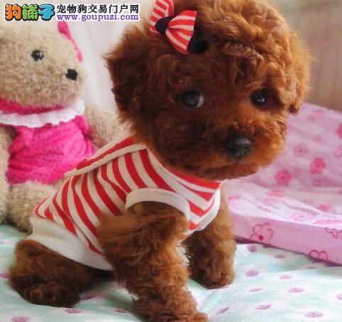 郑州狗场出售极品泰迪犬保证健康驱虫疫苗已做2