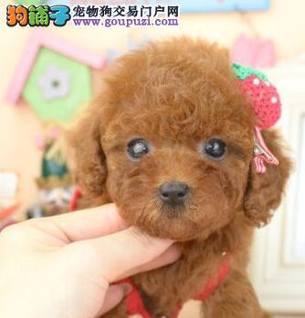 清远哪里有卖贵宾犬贵宾幼犬价格美丽