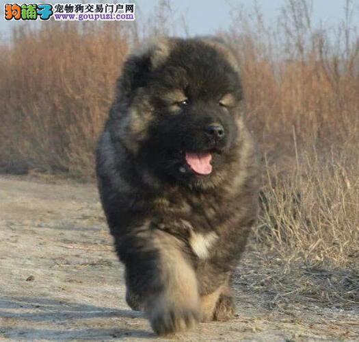 昆明纯种高加索犬转让 签订质保协议 巨型护卫犬高加索