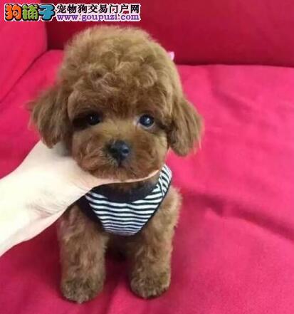 郑州狗场出售极品泰迪犬保证健康驱虫疫苗已做1