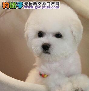 焦作市出售比熊犬幼犬 可视频看狗 包半年健康 包纯种