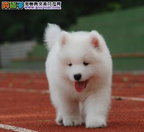 微笑天使雪白色的萨摩耶热卖中 南昌的朋友上门看种犬3