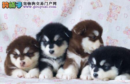 南京犬舍出售完美品相的阿拉斯加犬 品质健康有保证