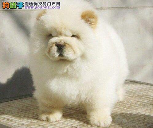 忠诚可爱的南昌松狮犬低价出售 多个地区免费包邮1
