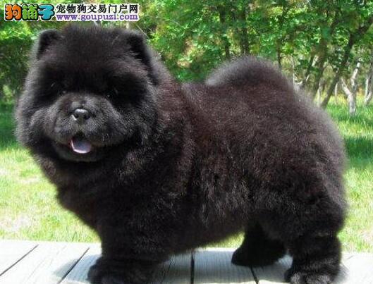 西安家养憨厚可爱的松狮犬转让可见狗狗父母