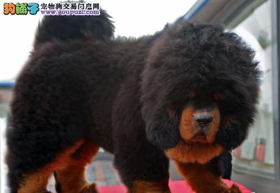 毛量大品种纯正的贵阳藏獒幼崽找新家 价格实惠签协议