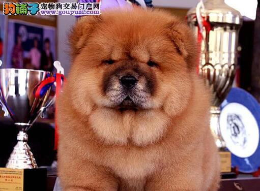 贵阳养殖场低价出售面包嘴松狮犬 狗贩子请勿扰