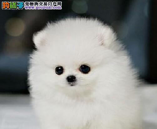 小巧玲珑健康活泼的贵阳博美犬热卖中 放心选购幼犬