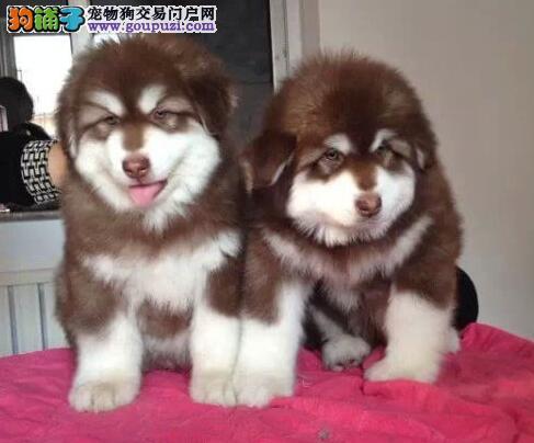 促销价出售优秀阿拉斯加雪橇犬 欢迎来西安犬舍挑选1