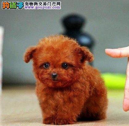 专业狗场低价出售贵宾犬 杭州地区可免费送货