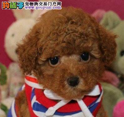 特价出售精品泰迪犬呼和浩特周边地区购买可送货