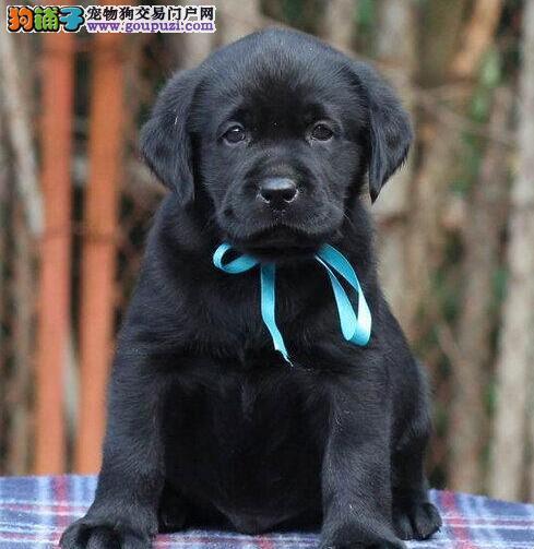 上海纯种拉布拉多小拉 神犬小七出售中
