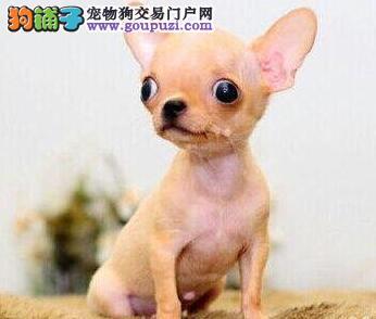 怎样能养好吉娃娃幼犬