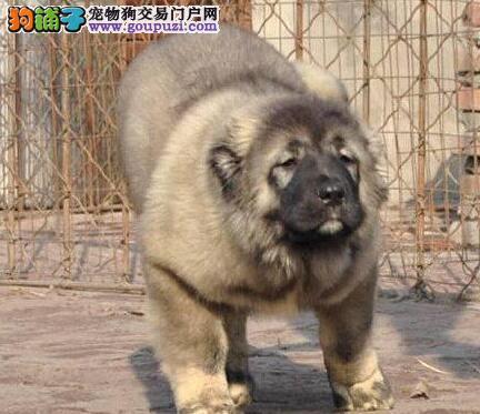北京养殖场直销完美品相的高加索微信咨询看狗狗照片1