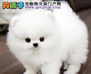 杭州出售博美犬幼犬签协议质保健康博美宝宝已断奶