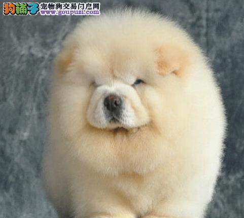 胖乎乎可爱活泼的松狮犬超低价出售中 济南市内可送货