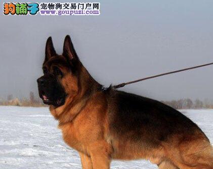 优秀大头锤系昆明德国牧羊犬 可享受多重优惠可空运1