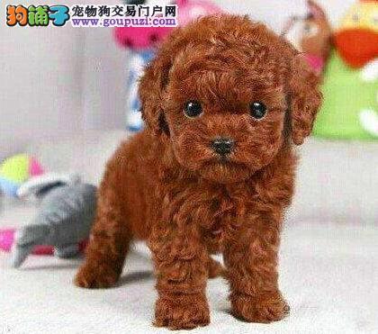 超甜苹果圆脸的洛阳泰迪犬找新家 爆毛量十分可爱