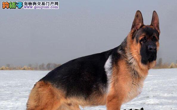 优秀大头锤系昆明德国牧羊犬 可享受多重优惠可空运3