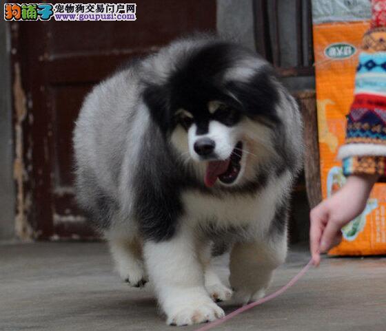 深圳出售赛级高品质阿拉斯加犬 欢迎加微信看狗详谈