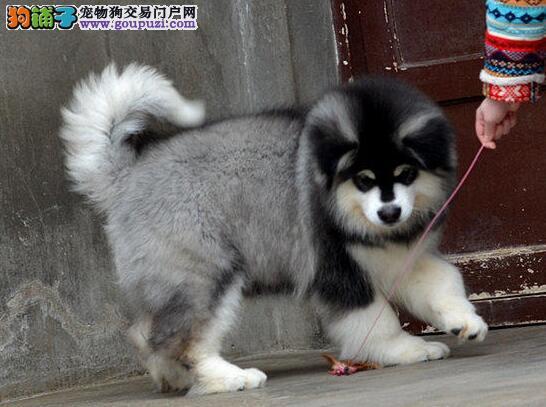 贵阳黑色十字脸巨型阿拉斯加雪橇犬 纯种阿拉斯加幼犬