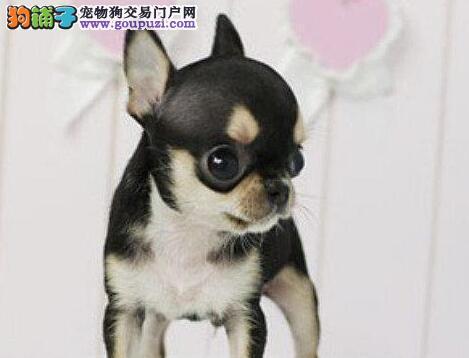 南京直销纯种活泼赛级哈多利球体博美犬包纯包健康