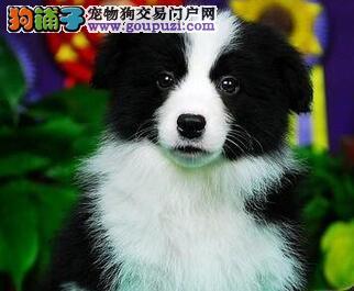 直销顶级优秀七白到位边境牧羊犬 欢迎来广州犬舍购买