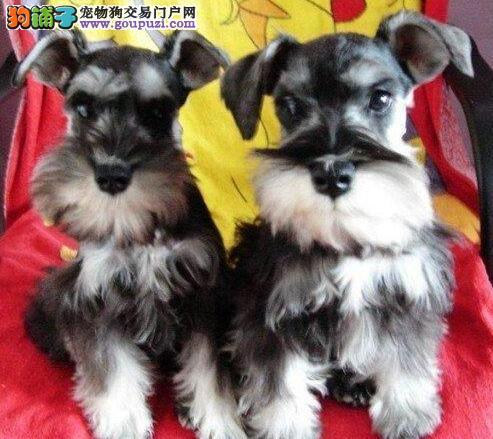 CKU认证犬舍 专业出售极品 雪纳瑞幼犬微信视频看狗