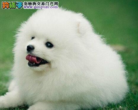 极品优秀哈多利版广州博美犬特价直销 有售后服务