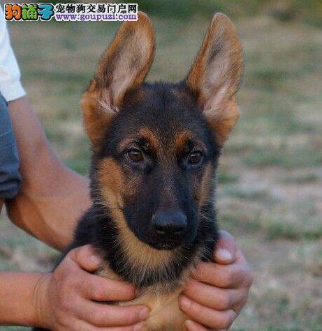 精品德国牧羊犬幼犬出售 价格实惠 签协议 上门看狗