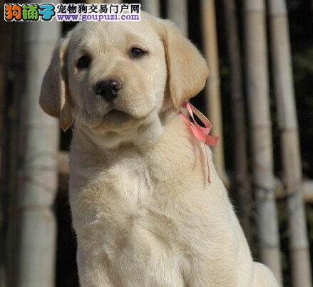 转让优秀纯种血统拉布拉多犬 广州周边地区可免费送狗