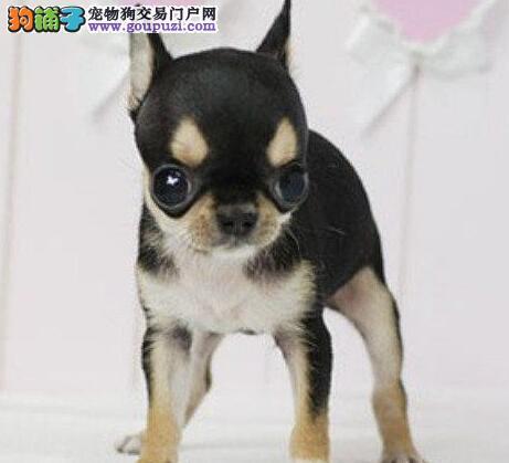 有坚韧的意志的狗狗 纯种吉娃娃可上门挑选
