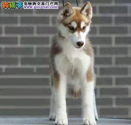 北京正规犬舍出售宠物级哈士奇犬赛级哈士奇签订协议