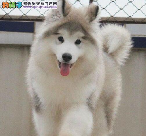 南京市出售阿拉斯加犬 大阿 阿拉斯加雪橇犬幼犬