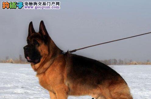 顶级锤系大头德牧幼犬实物拍摄 种公可对外配种